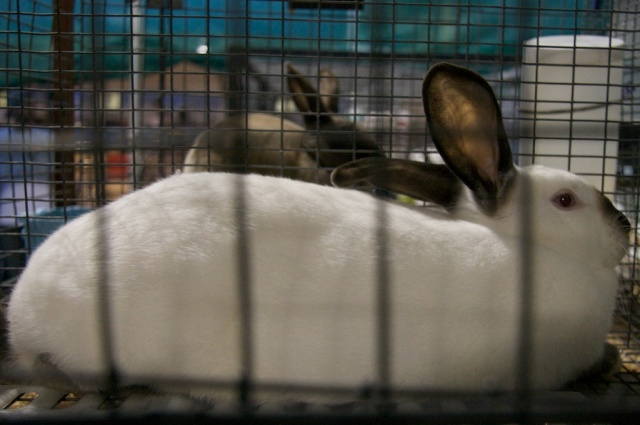 Rabbit, bunny, San Mateo County Fair