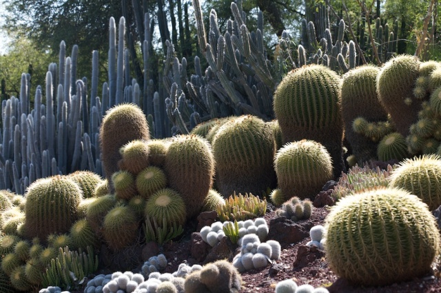 Succulents at Huntington Desert Garden