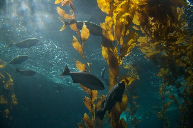 Monterey Bay Aquarium Kelp Tank