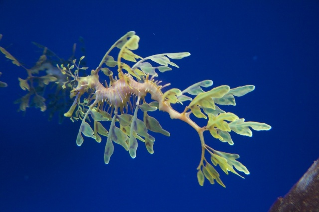 Monterey Bay Aquarium Sea Dragon
