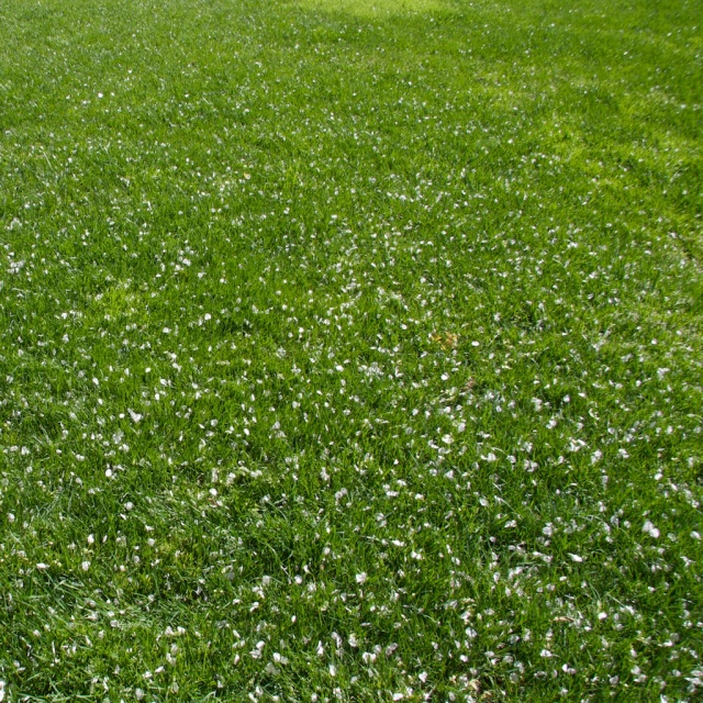 Lawn and cherry blossom petals