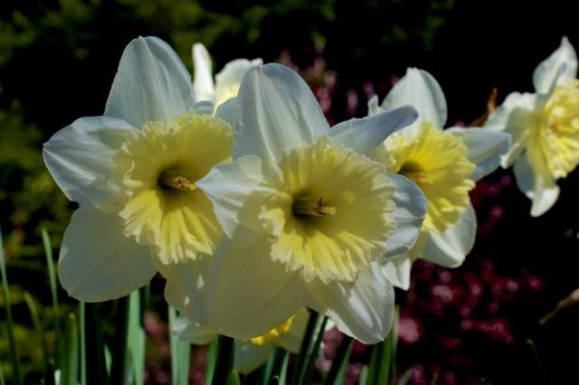 piecedgoods Daffodils